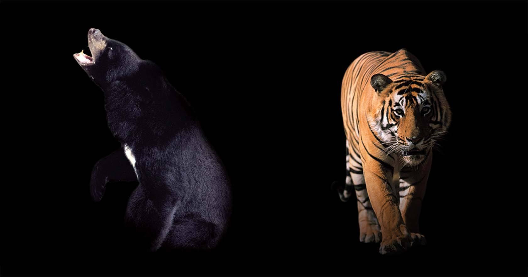 WMH-CLIPPER-TEA-BEAR-TIGER-WEB image