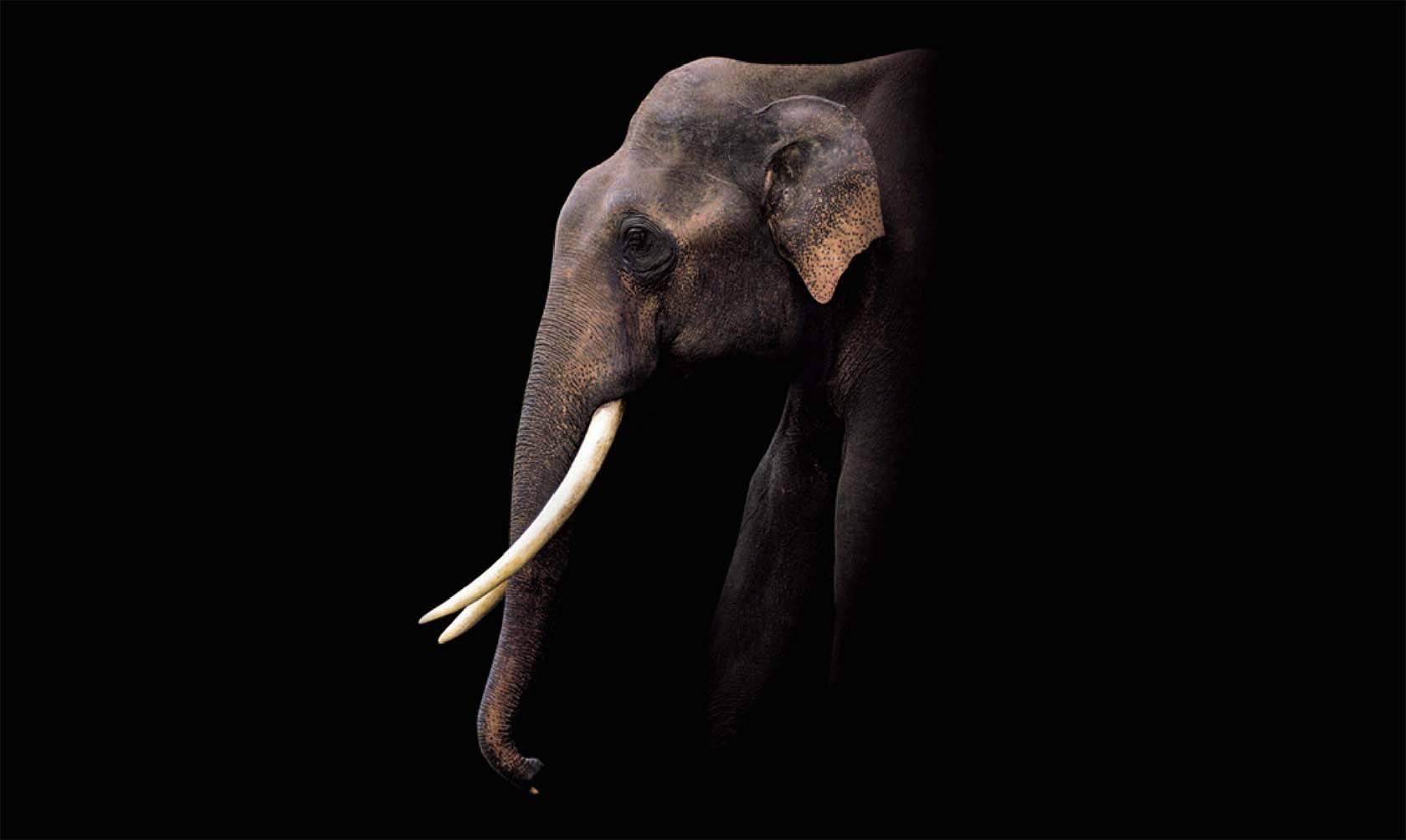 WMH-CLIPPER-TEA-ELEPHANT-WEB image