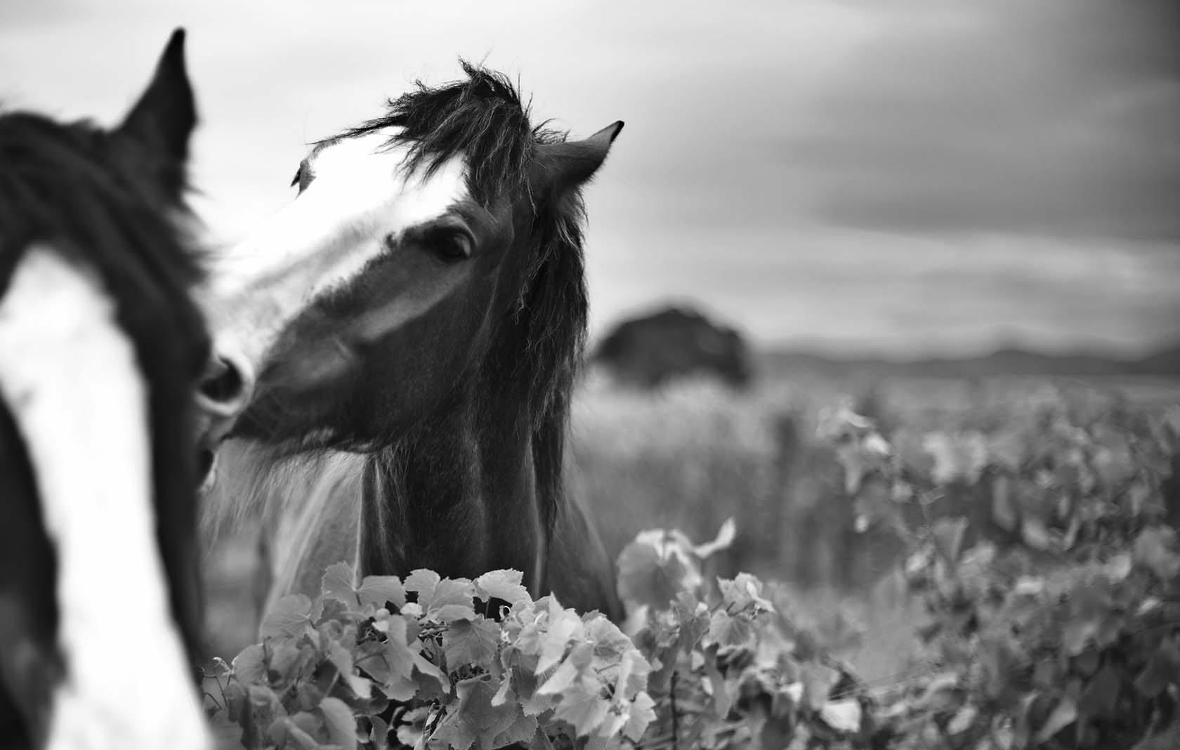 WMH-SERESIN-HORSES-WEB image